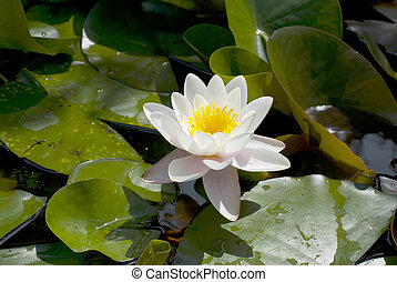 waterlily - exotic waterlily blooming in pond