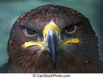 falcon-sepulchre - Falcon-sepulchre glare and frown (zoo in...