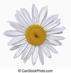camomile - Macro photo of single whole flower camomile