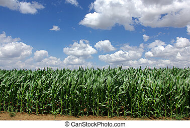 green Maize - Sown field of green maize in Portugal