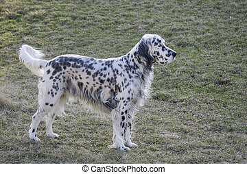 English Setter - Beautifully groomed English Setter with...