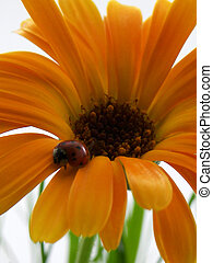 Lady Bug - Lady bug on a orange daisy flower