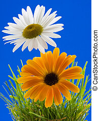 Daisies - Two daisies in grass with a blue background