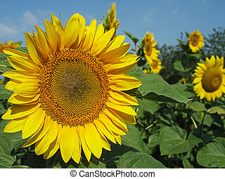 sunflowers infront of blue sky