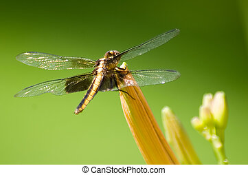 Dragonfly [1] - Black and yellow striped dragonfly on orange...