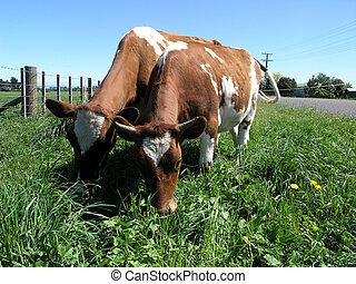 Ayrshire Cows Grazing - Two Ayrshire cows grazing behind an...