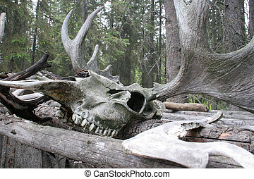 Moose horms - A skull and moose horns
