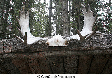 Moose antlers - A pare of moose antlers as decoration of a...