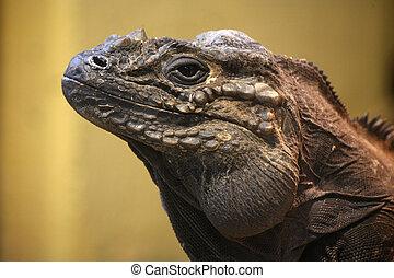 Reptile - A brown Cyclura Cornuta Iguana in a terrarium