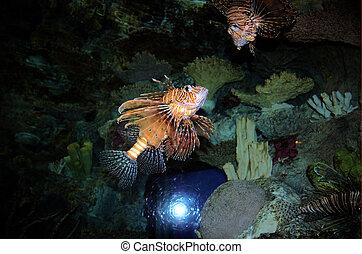 Dragon fish in a fish tank