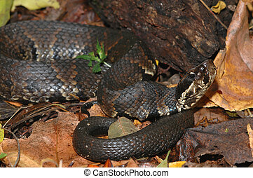 Agkistrodon piscivorus - The western cottonmouth snake is...
