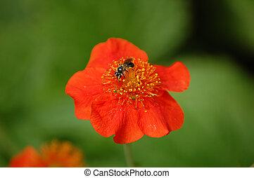 flor, abeja