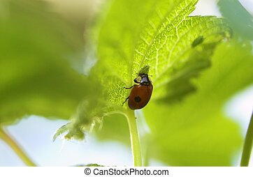 Ladybird Eating Aphid - A ladybird eating an aphid on a...