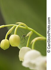 Spider on Lilly-of-the-Va