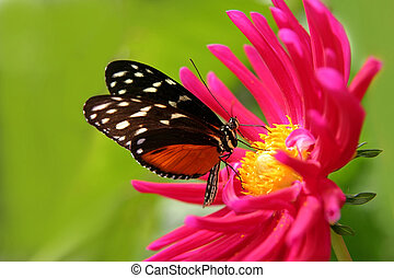 butterfly on a flower - nice butterfly on a fushia flower