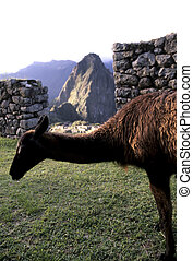 Llama- Machu Picchu, Peru - Llama feeding on grass at the...