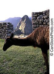 Llama- Machu Picchu, Peru - Llama feeding on grass at the...