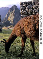 Machu Picchu- Peru - Alpaca grazing at the Incan ruins of...
