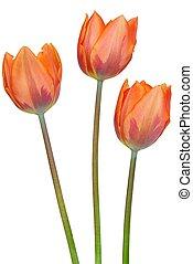 Tulips - Isolated tulips