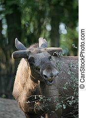 Moose in a german zoo