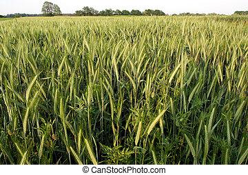 Green rye field on a blue sky backgound