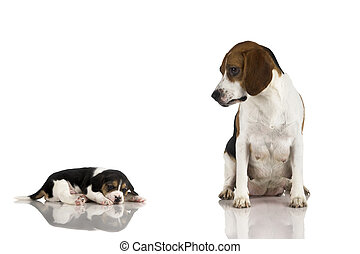beagle, mãe
