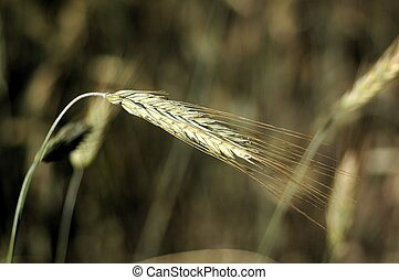 Wheat Stalk - Close up of a single wheat grain on its stalk.