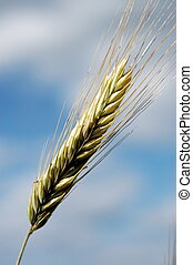 Wheat and Sky - Close up of wheat ears growing ripe for...