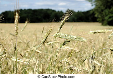Wheat Field - Wheat field slowly ripening to harvest