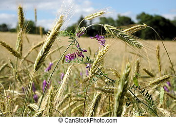 Flowers in wheat - Wheat field slowly ripening to harvest...