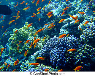 Underwater landscape with Scalefin Anthias Red Sea