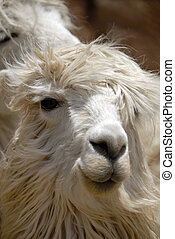 Peruvian Llama - Close up Shot of a Peruvian Llama