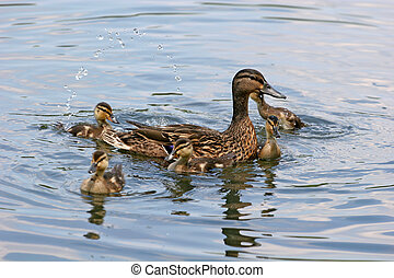 Playing in the Water - Baby ducks playing in the lake with...