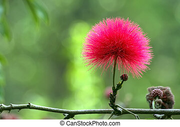 red mimosa flower Calliandra haematocephala - beautiful red...