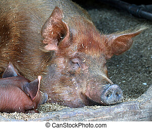Sleeping pigs - Sow and piglet sleeping