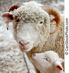 Sheep and lamb - sheep and her baby lamb