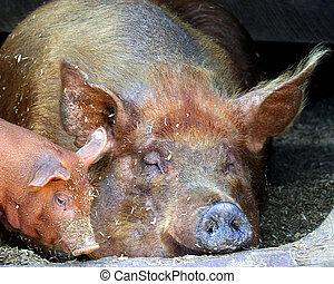 Sleeping pigs - sow and piglet sleeping