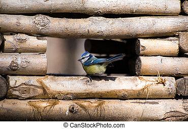blue tit in a feeding trough