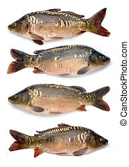 mirror carps collection - big size file