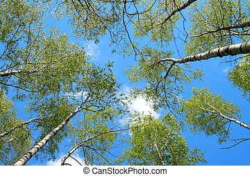 Birches - White-trunked birches with green leaves on a...
