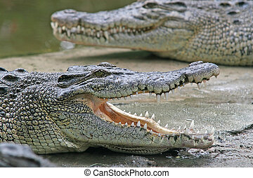 Crocodile jaws - A crocodile waits with its jaws wide open