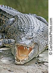 大, 鱷魚