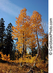 Orange Aspen Trees - Two Bright Orange Aspen Trees Against...