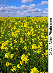 Mustard Flowers, White Clouds - Vast Springtime Field of...