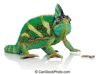 lunch break - chameleon eating a cricket over white...
