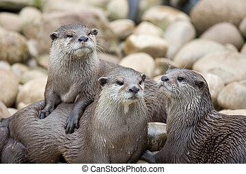 Otters - three posing otters