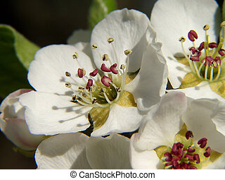 pear blossoms - macro of three beautiful pear blossoms
