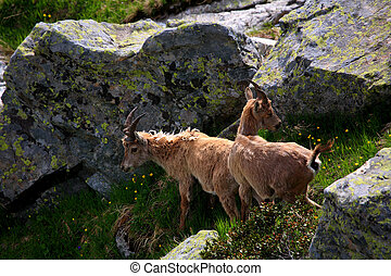 Ibex cub in Aiguilles Rouges Reservation, France