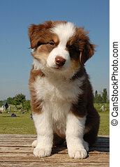 pup australian shepherd - puppy australian shepherd