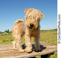 pup fox terrier - puppy fox terrier